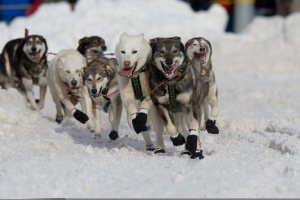 Iditarod Dogs Racing together