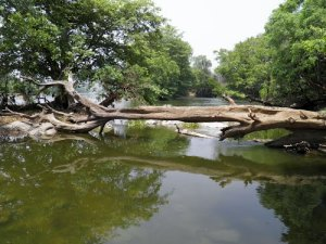 tree across river