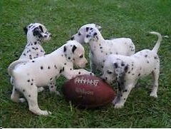 puppies with football