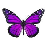 actual Purple Tigress butterfly